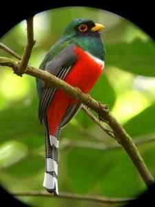 Tresgarantías (Trogon mexicanus)